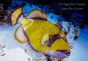 Triger Fish in Red Sea, Sharm il Sheik  Egypt by Alejandro Topete 